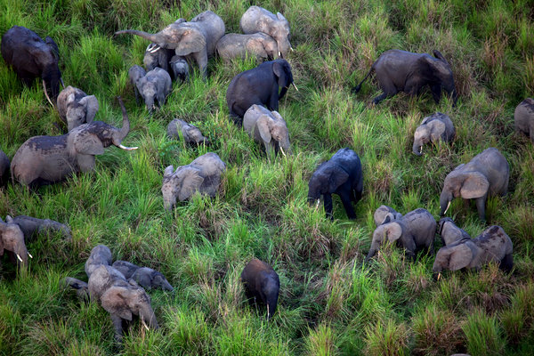 大象漫步在刚果民主共和国的加兰巴国家公园。为了获取象牙,盗猎者每年捕杀数千头大象