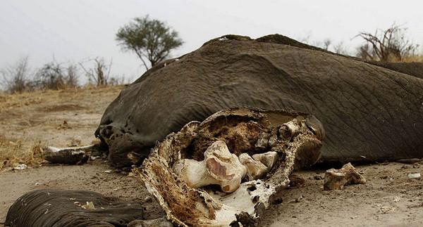 津巴布韦万基国家公园内遭盗猎者毒杀的野生大象残骸