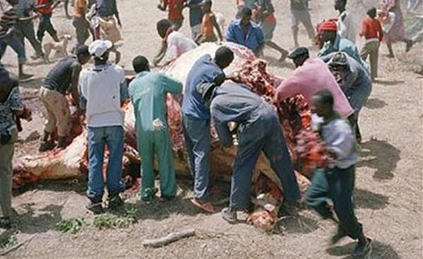 数百津巴布韦饥民仅用1小时就分抢完6吨重的死象
