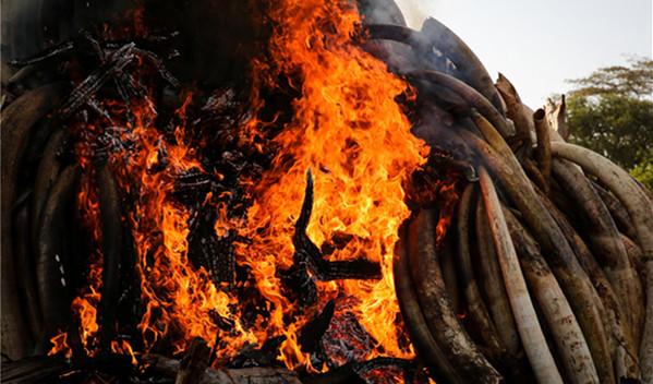 为了纪念世界野生动物保护日和非洲环境保护日,肯尼亚集中销毁15吨走私象牙