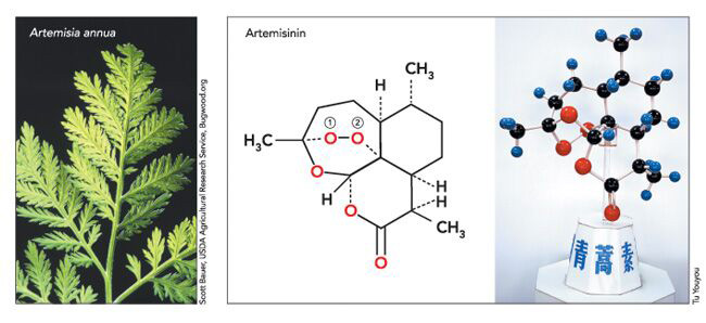 青蒿与青蒿素的化学构成