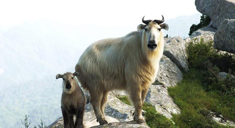 陕西省佛坪国家级自然保护区内的羚牛