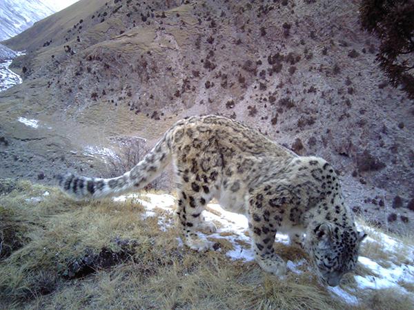 雪豹三分之一的食物来自牧民牛羊,会遭到报复性猎杀