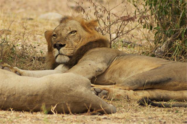 在非洲,猎杀狮子常常要花费数万美元,很多社区因此获益