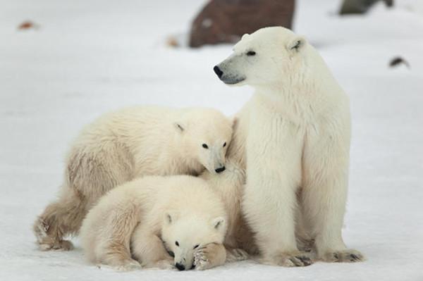 加拿大北极熊狩猎合法,但在加拿大濒危野生动植物状况委员会的调控下,当地的北极熊数量总体上升