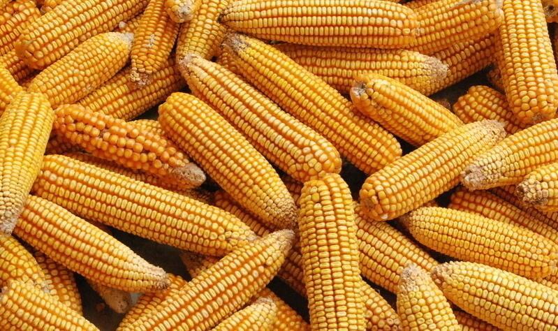 玉米等粮食的收购,是准入制度,必要办证