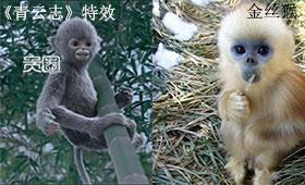 《青云志》的灵猴小灰参照金丝猴进行设计