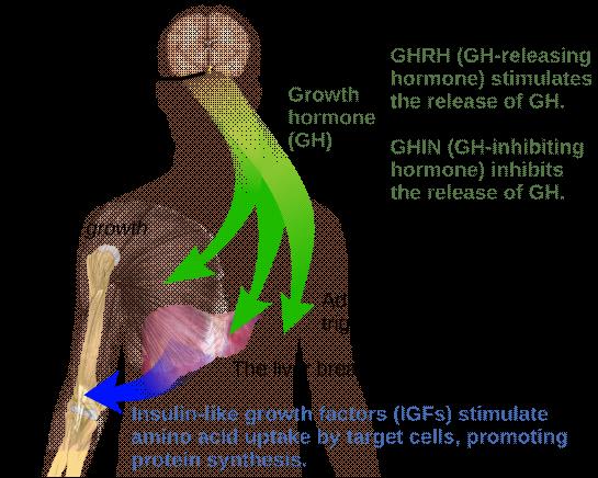 脑垂体分泌生长激素,然后通过肝脏作用于骨骼生长