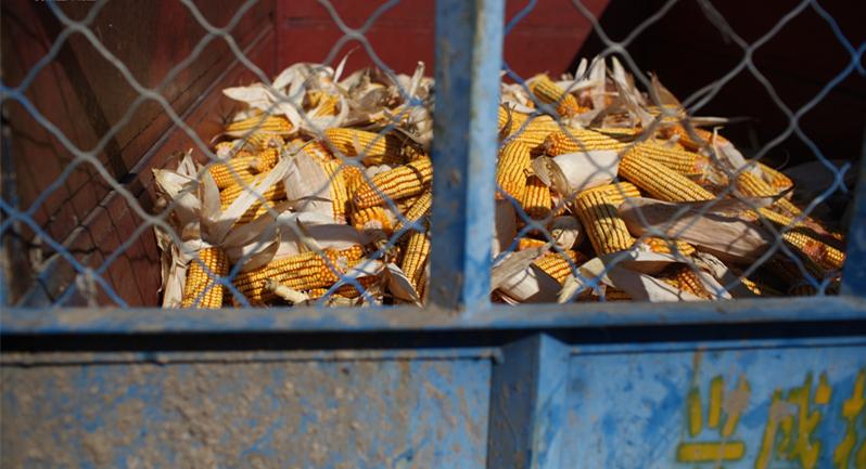 由于转基因玉米抗虫、抗除草剂,很受农民欢迎