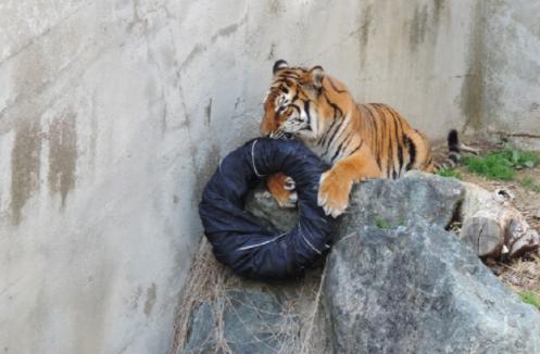 日本茨城县神峰动物园的丰容设计:把丹宁布包在轮胎外面,任由老虎、狗熊、狮子撕咬