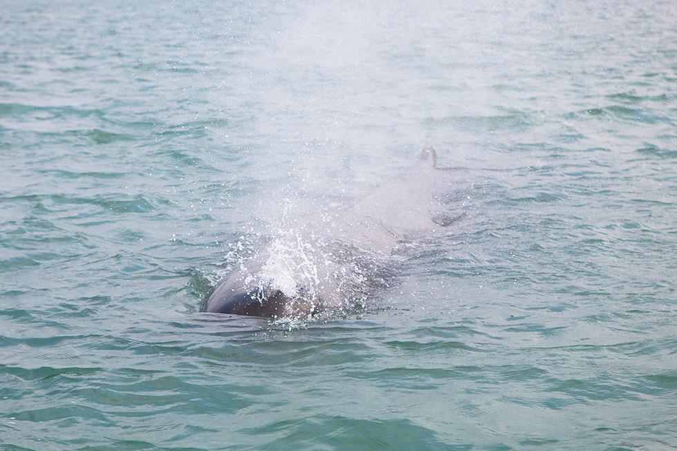 """2017年3月13日,深圳,多方共同展开针对抹香鲸的救援工作,彼时的""""浪花""""还能喷出水柱,几乎所有人都认为它会回到深海。(摄影 / CFP)"""
