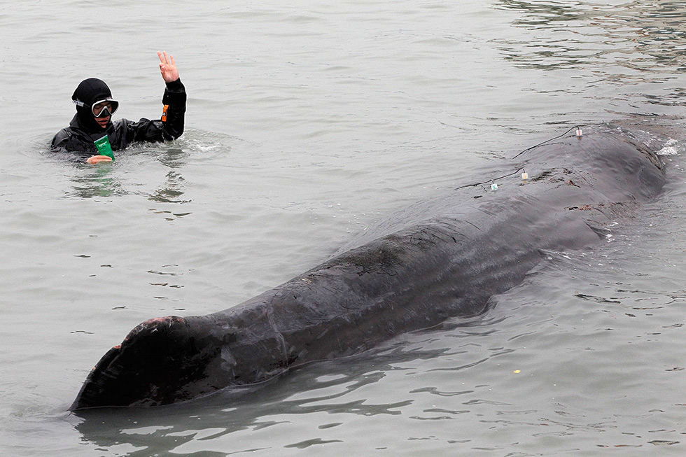 2017年3月14日,惠州芝麻州海滩,潜水员正在海洋动物专家指导下为搁浅的抹香鲸做最后一次诊疗。(摄影 /  徐文阁 南方都市报)