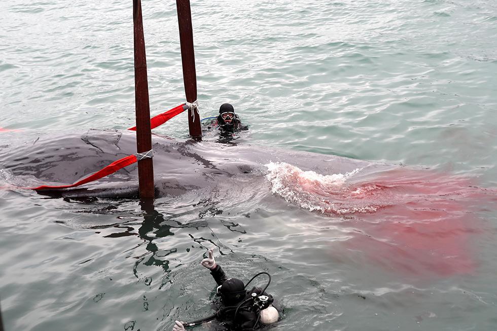 在潜水员的努力下,抹香鲸被套入吊架中,慢慢起吊。然后慢慢挪动到板式车上。整个过程花了半个多小时,抹香鲸身上流了好多血。(摄影 / CFP 11)
