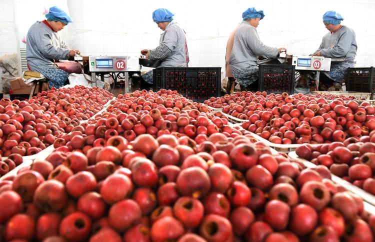 打造乡镇特色产业很重要,图为农家女在山东省沂源县悦庄镇一果品加工企业劳作