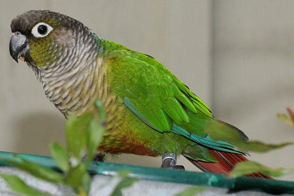 人工豢养下的绿颊锥尾鹦鹉繁殖难度不高,照顾得宜的话一整年都可以繁殖