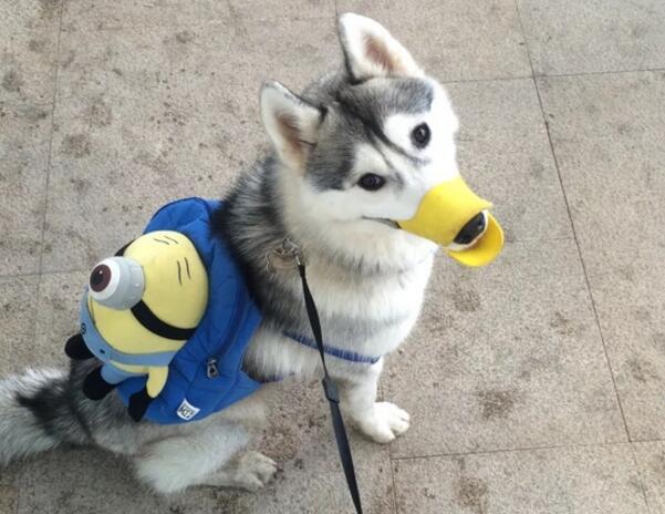 从狗的装备,可以反映出狗主人的素质