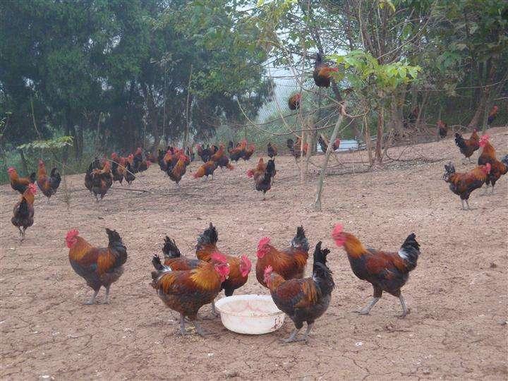 大规模散养土鸡反而有风险