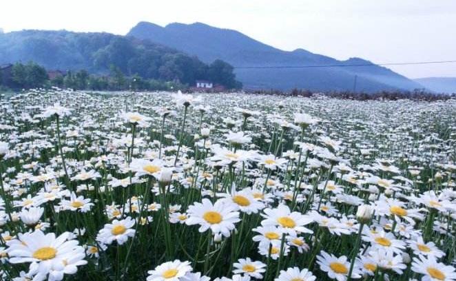 为了实现有机农业而大量种植除虫菊,真的环保吗?