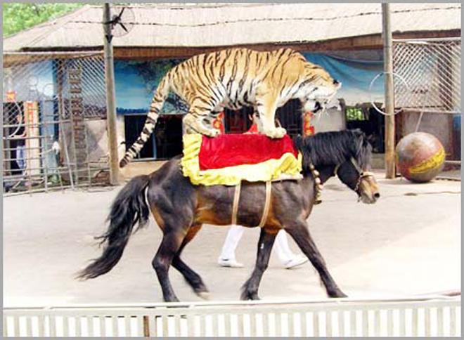 野生动物表演背后少不了对动物的虐待