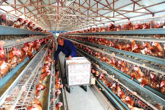 在激进动物保护主义者看来,现代化养殖侵犯了动物的福利