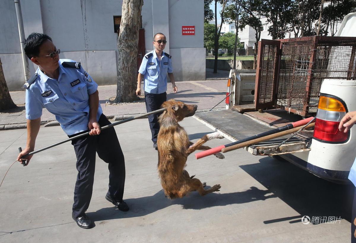 7月19日,西安市丰禾路公安莲湖分局限养办的民警冒着酷暑抓捕流浪狗