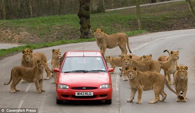 英国诺斯利野生动物园,十只狮子围住自驾的游客