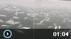 极寒天气大量石鱼被冻死