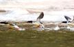 """中华秋沙鸭现身吉林 号称 """"鸟类中的大熊猫"""""""