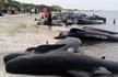 150头鲸鱼搁浅澳洲海岸 最终仅6头存活