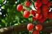 舌尖上的诗词:诗人和他们的水果