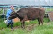 福岛核电站事故过去7年 核污染区恢复肉牛养殖