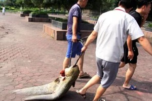 洪水退去,市民冒险到江边拖鲢鱼,最大的50斤一条