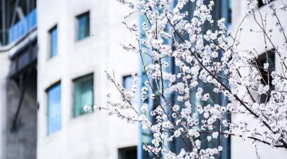 初春三月 北京��奥组委首钢�@�^刺��花�_