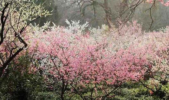 南京梅花节盛大开幕 淡妆宫粉如堆雪