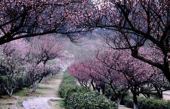 南京梅花节盛大开幕淡妆宫粉如堆雪