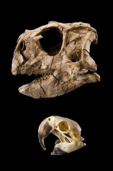 克龙弗兰德犬-2009年美国科学家描述了一种新恐龙物种:爱吃坚果的宛如大鹦鹉的恐高清图片