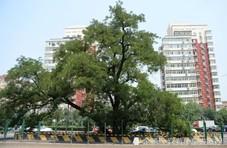 北京为保护这棵钉子树,在立交桥上开了个口子
