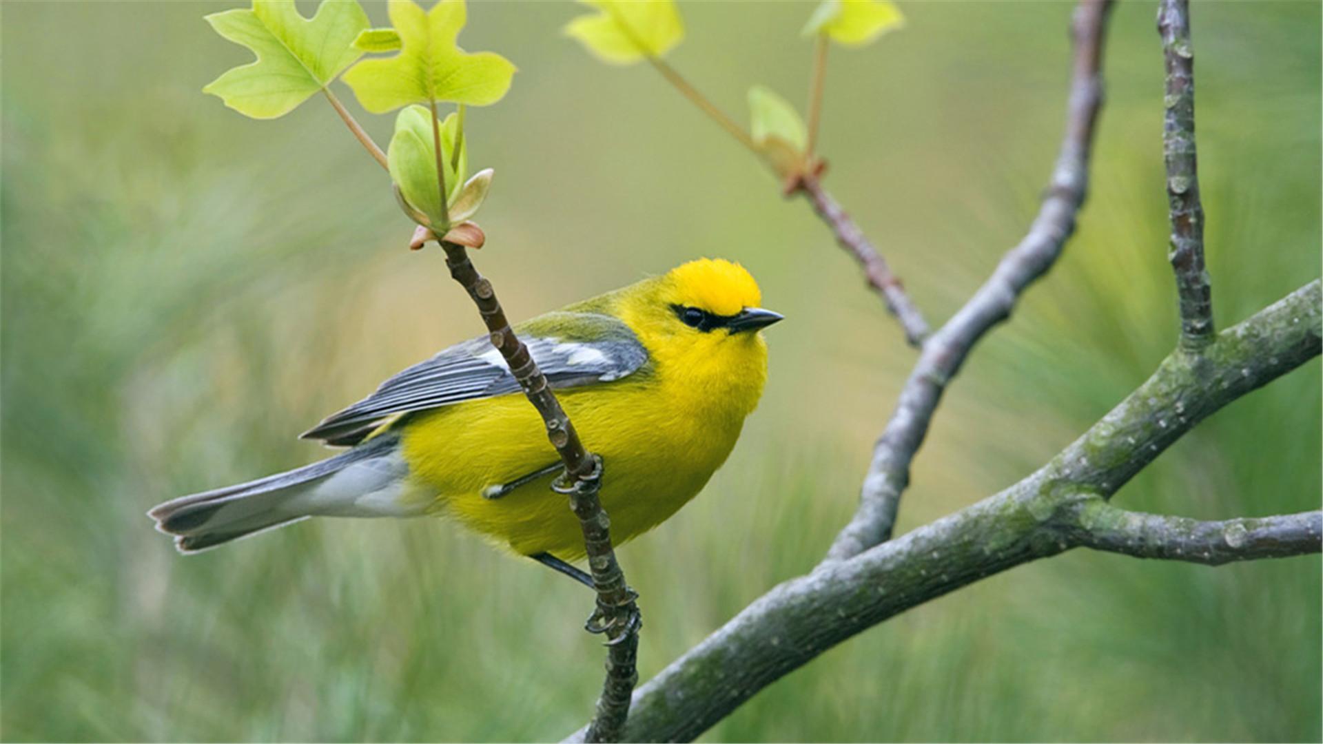 杨花落尽子规啼:鸣叫在诗歌里的鸟儿
