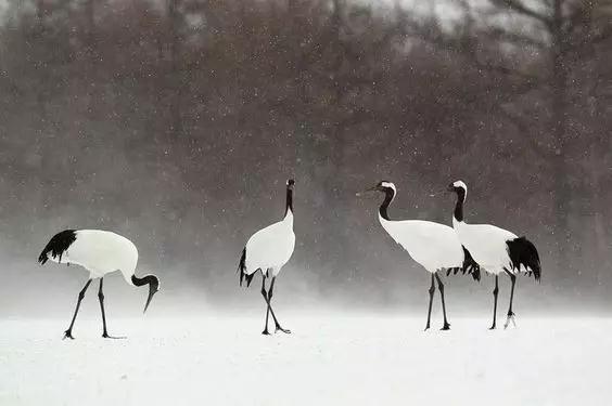 寿之鸟,仙之鹤