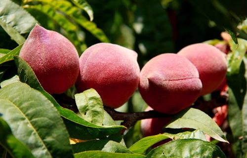 桃木是什么树