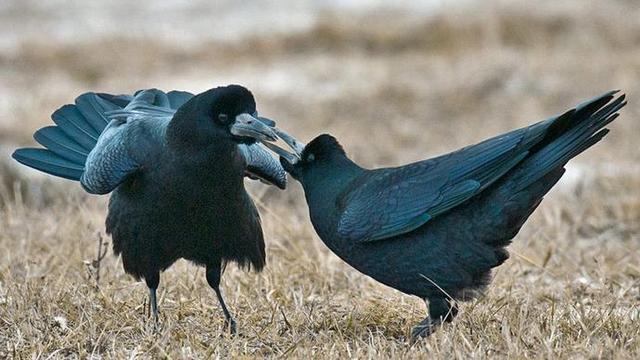 武当山的乌鸦崇拜,一种被遗忘的吉祥鸟