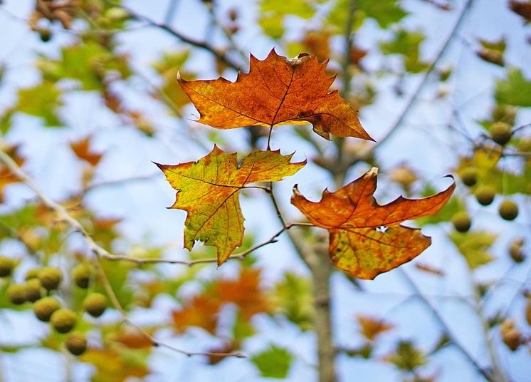 每周��Z丨�n郁的秋日梧桐�c物哀之美