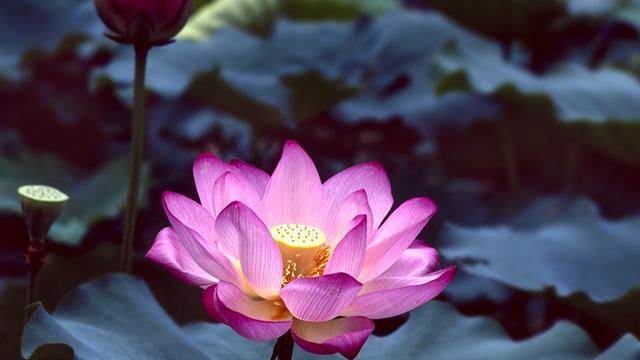 为什么莲花可以作为佛教的象征