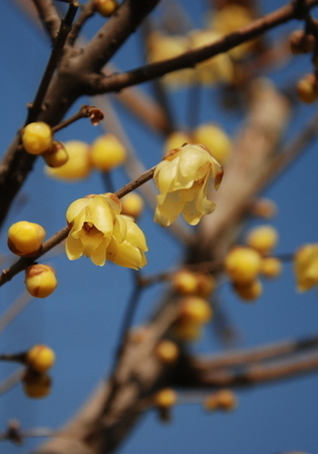 重庆春节习俗:腊梅迎春