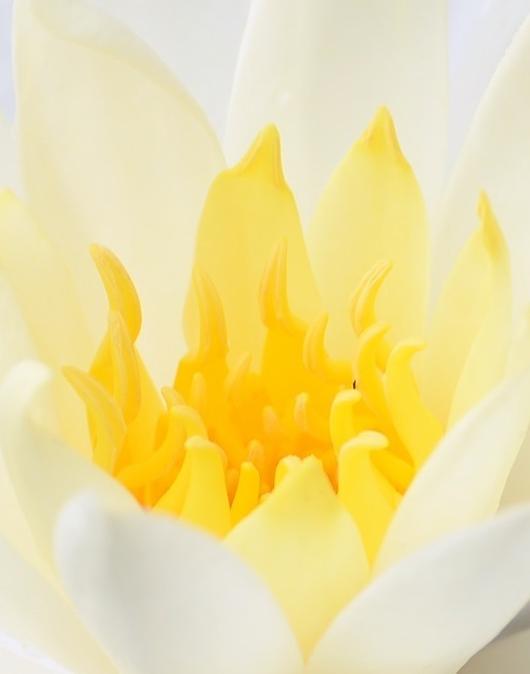 令人惊叹的莲之舞:花蕊的述说
