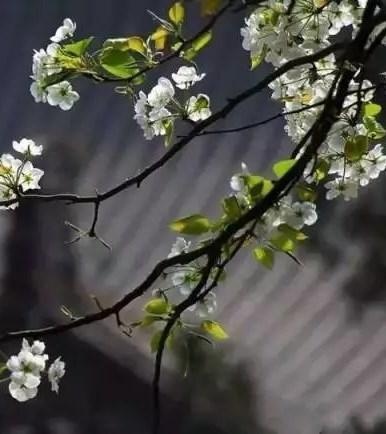 盛开在诗词里的梨花 意?#22478;?#24189; 情致缠绵