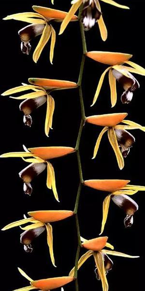 最美珍稀兰花:风来难隐谷中香