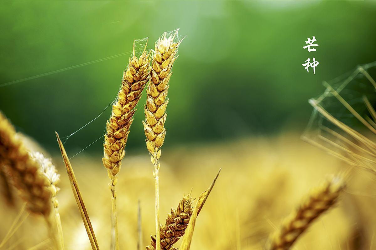 """道医养生笔记丨芒种:""""谁知盘中餐,粒粒皆辛苦"""""""