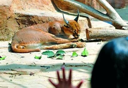 黑背狐狼,狞猫首次落户上海动物园 已过适应期