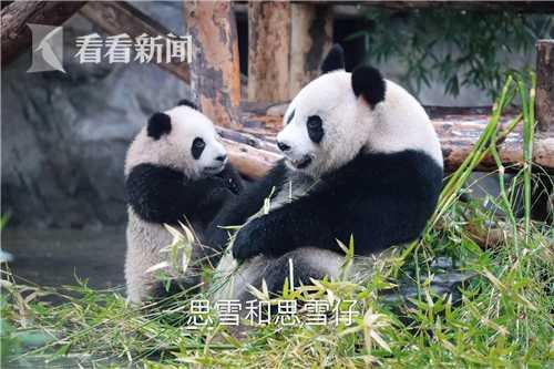 上海野生动物园两只大熊猫幼仔与游客见面